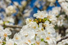 Άσπρα λουλούδια του οπωρωφόρου δέντρου και μιας μέλισσας στοκ εικόνες