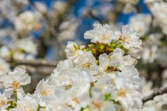 Άσπρα λουλούδια του οπωρωφόρου δέντρου και μιας μέλισσας στοκ φωτογραφία με δικαίωμα ελεύθερης χρήσης