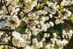Άσπρα λουλούδια του οπωρωφόρου δέντρου στοκ φωτογραφία με δικαίωμα ελεύθερης χρήσης