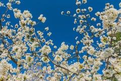 Άσπρα λουλούδια του οπωρωφόρου δέντρου στοκ εικόνες με δικαίωμα ελεύθερης χρήσης