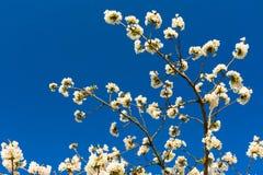 Άσπρα λουλούδια του οπωρωφόρου δέντρου με τον ουρανό στοκ φωτογραφίες με δικαίωμα ελεύθερης χρήσης