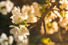 Άσπρα λουλούδια του οπωρωφόρου δέντρου στοκ εικόνες