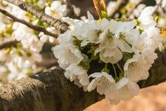 Άσπρα λουλούδια του οπωρωφόρου δέντρου στοκ φωτογραφίες με δικαίωμα ελεύθερης χρήσης