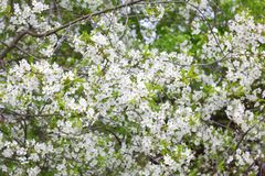 Άσπρα λουλούδια του οπωρωφόρου δέντρου την άνοιξη Στοκ Φωτογραφίες