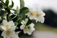 Άσπρα λουλούδια του πλαστού πορτοκαλιού θάμνου - coronarius Philadelphus στοκ φωτογραφίες με δικαίωμα ελεύθερης χρήσης