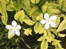 Άσπρα λουλούδια του paniculata Jasminul Murraya portocal, Murraya ε στοκ φωτογραφίες