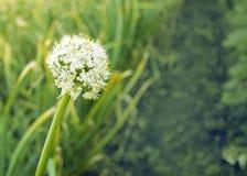 Άσπρα λουλούδια των πράσινων κρεμμυδιών ανθίσεις κρεμμυδιών στον κήπο σπόροι στοκ εικόνα με δικαίωμα ελεύθερης χρήσης