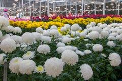 Άσπρα λουλούδια χρυσάνθεμων στο θερμοκήπιο στοκ εικόνες