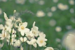 Άσπρα λουλούδια anemona Στοκ φωτογραφίες με δικαίωμα ελεύθερης χρήσης