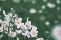 Άσπρα λουλούδια anemona Στοκ Εικόνες