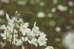Άσπρα λουλούδια anemona Στοκ Εικόνα