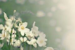 Άσπρα λουλούδια anemona Στοκ Φωτογραφία