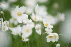 Άσπρα λουλούδια anemona Στοκ φωτογραφία με δικαίωμα ελεύθερης χρήσης