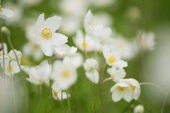 Άσπρα λουλούδια anemona Στοκ εικόνα με δικαίωμα ελεύθερης χρήσης