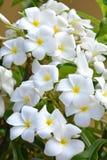 Άσπρα λουλούδια Frangipani acutifolia Plumeria Στοκ Εικόνες