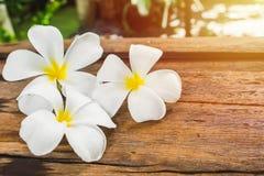Άσπρα λουλούδια Frangipani Plumeria στο ξύλινο πάτωμα το πρωί s Στοκ Εικόνα