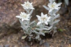 Άσπρα λουλούδια Leontopodium nivale περίεργα, ανθίζοντας φυτό βουνών στοκ εικόνα