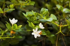 Άσπρα λουλούδια Plumeria ή Frangipani στον κλάδο δέντρων Στοκ φωτογραφία με δικαίωμα ελεύθερης χρήσης