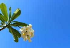 Άσπρα λουλούδια plumeria ενάντια στο μπλε ουρανό Στοκ Εικόνες