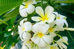 Άσπρα λουλούδια Plumeria στο δέντρο Πράσινο μυρισμένο φύλλα fragran Στοκ φωτογραφίες με δικαίωμα ελεύθερης χρήσης
