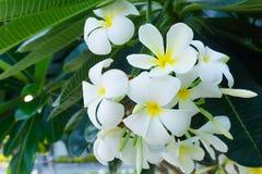 Άσπρα λουλούδια Plumeria στο δέντρο Πράσινο μυρισμένο φύλλα fragran Στοκ Φωτογραφίες