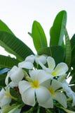 Άσπρα λουλούδια Plumeria στο δέντρο Πράσινο μυρισμένο φύλλα fragran Στοκ Εικόνα