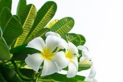 Άσπρα λουλούδια Plumeria στο δέντρο Πράσινο μυρισμένο φύλλα fragran Στοκ Εικόνες