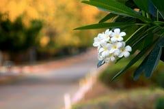 Άσπρα λουλούδια Plumeria στο δέντρο Στοκ Εικόνα