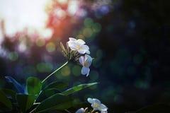 Άσπρα λουλούδια Plumeria στο πάρκο Στοκ εικόνα με δικαίωμα ελεύθερης χρήσης