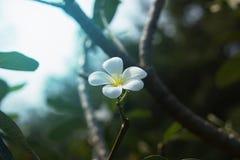 Άσπρα λουλούδια Plumeria στο πάρκο Στοκ φωτογραφίες με δικαίωμα ελεύθερης χρήσης