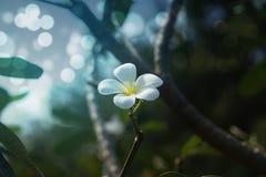 Άσπρα λουλούδια Plumeria στο πάρκο Στοκ φωτογραφία με δικαίωμα ελεύθερης χρήσης