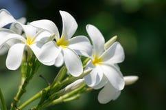 Άσπρα λουλούδια plumeria Στοκ Εικόνες