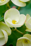 Άσπρα λουλούδια POI Σηάν. Στοκ φωτογραφία με δικαίωμα ελεύθερης χρήσης