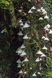 Άσπρα μανιτάρια που κρεμούν στο δέντρο Στοκ Φωτογραφίες