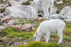 Άσπρα μεγάλα πρόβατα κέρατων - δύσκολη αίγα βουνών Στοκ φωτογραφία με δικαίωμα ελεύθερης χρήσης