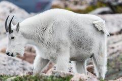 Άσπρα μεγάλα πρόβατα κέρατων - δύσκολη αίγα βουνών Στοκ Εικόνα