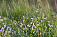 Άσπρα μικρά λουλούδια στη χλόη Υπόβαθρο Όμορφο backgrou Στοκ Φωτογραφία