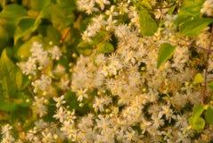 Άσπρα μικρά λουλούδια στο φως του ήλιου βραδιού Στοκ εικόνα με δικαίωμα ελεύθερης χρήσης