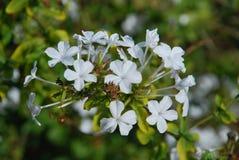 Άσπρα μικρά λουλούδια Στοκ Εικόνα