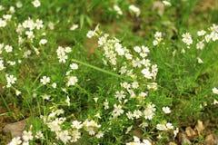 Άσπρα μικρά λουλούδια Στοκ Εικόνες