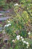 Άσπρα μικρά τριαντάφυλλα σε έναν κήπο στοκ φωτογραφία
