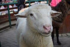 Άσπρα νέα πρόβατα προσώπου στο κλουβί Στοκ Εικόνα