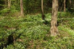 Άσπρα ξύλινα primroses ανοίξεων λουλουδιών anemone Στοκ εικόνες με δικαίωμα ελεύθερης χρήσης