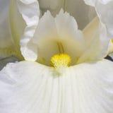 Άσπρα λουλούδια άνοιξη ίριδων σε έναν κήπο καθολικός Ιστός προτύπων σελίδων ίριδων χαιρετισμού λουλουδιών καρτών ανασκόπησης Στοκ φωτογραφία με δικαίωμα ελεύθερης χρήσης