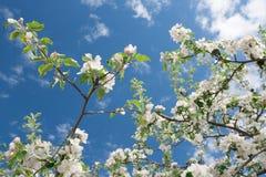 Άσπρα λουλούδια άνοιξη του Apple-δέντρου ενάντια στο μπλε ουρανό Στοκ εικόνες με δικαίωμα ελεύθερης χρήσης