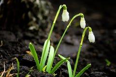 Άσπρα λουλούδια άνοιξη, snowdrops, μετά από τη βροχή Στοκ Εικόνες