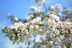 Άσπρα λουλούδια δέντρων της Apple ενάντια στο μπλε ουρανό Στοκ φωτογραφία με δικαίωμα ελεύθερης χρήσης