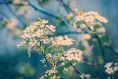 Άσπρα λουλούδια δέντρων της Apple καβουριών - αναδρομικά Στοκ Εικόνα