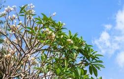 Άσπρα λουλούδια δέντρων Plumeria Στοκ φωτογραφία με δικαίωμα ελεύθερης χρήσης