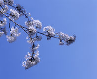 Άσπρα λουλούδια ανθών της Apple Στοκ Φωτογραφία